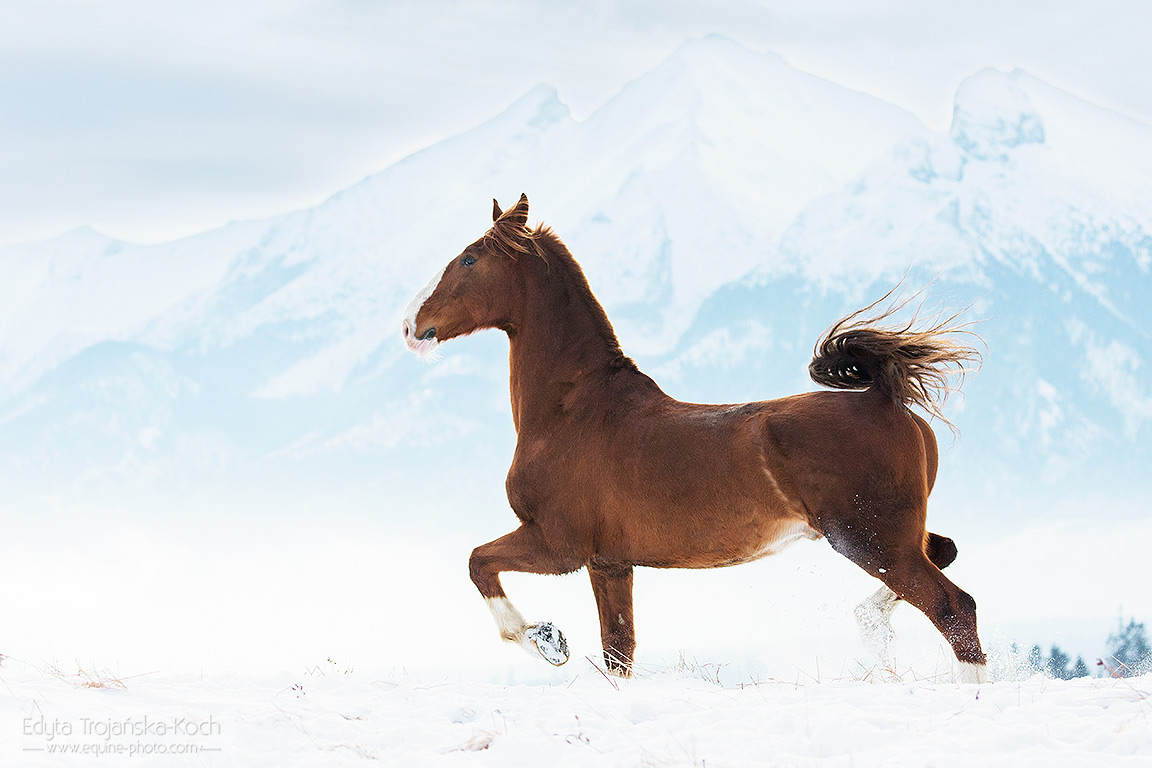 KWPN gelding Aragon trotting in the Tatra mountains