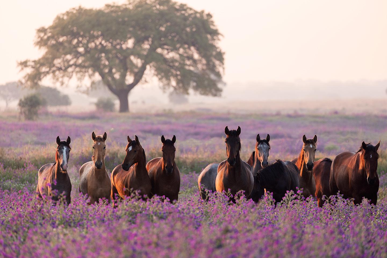 Ogierki lusitano na fioletowej łące o wschodzie słońca
