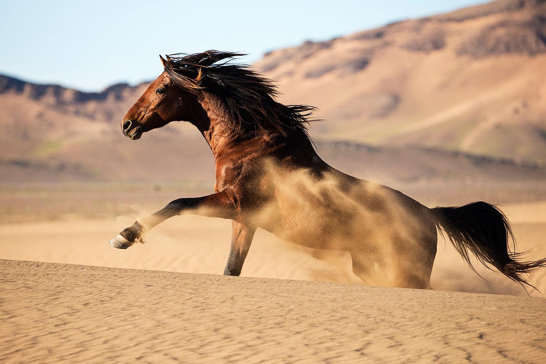 Berbero arab galopujący po wydmach na pustyni