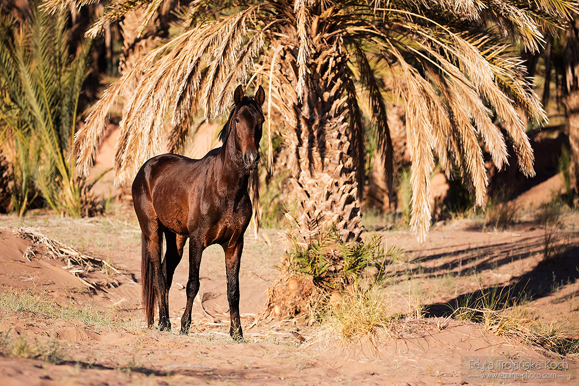 Berber na koniu na pustyni w Maroku