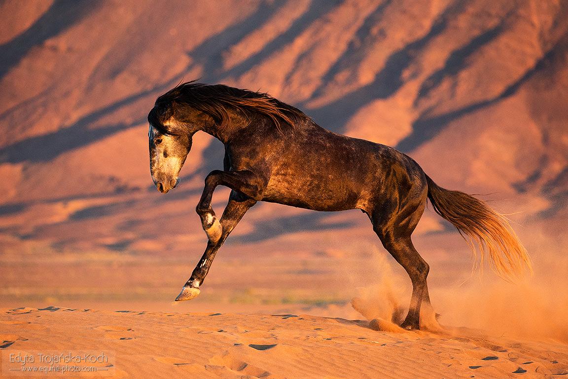 Berbero arab galopujący o zachodzie po pustyni na tle gór