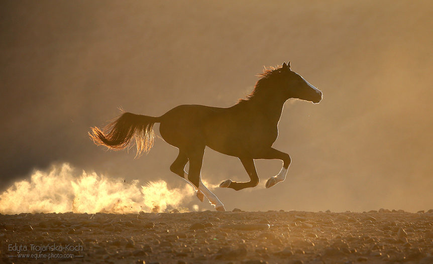 Arabian-Berber stallion galloping in the desert at sunrise