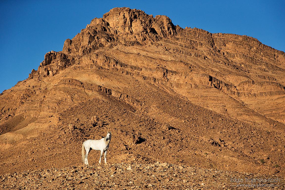 Siwy ogier berbero-arab stojący na tle gór w Maroku