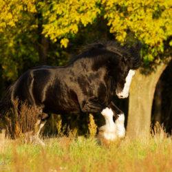 Ogier shire skaczący na pastwisku jesienią