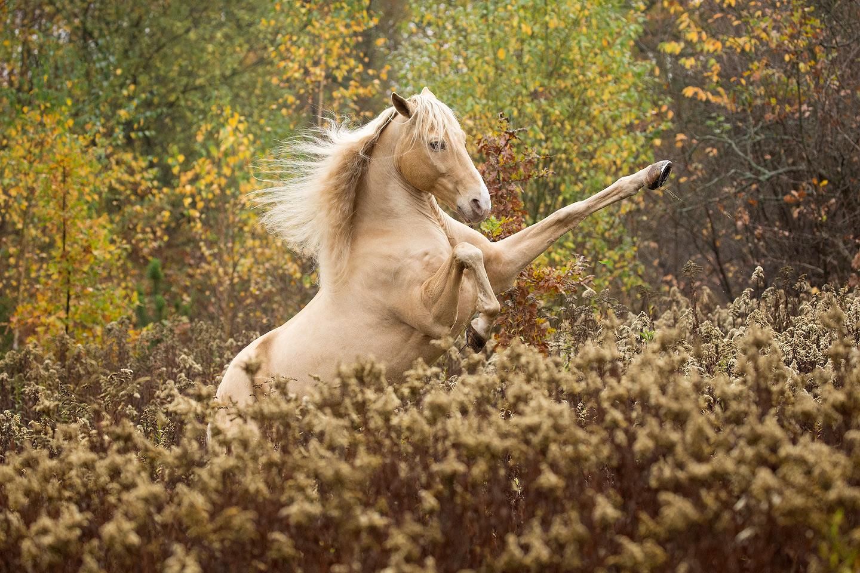 Andaluz wspinający się jesienią wśród suchych traw