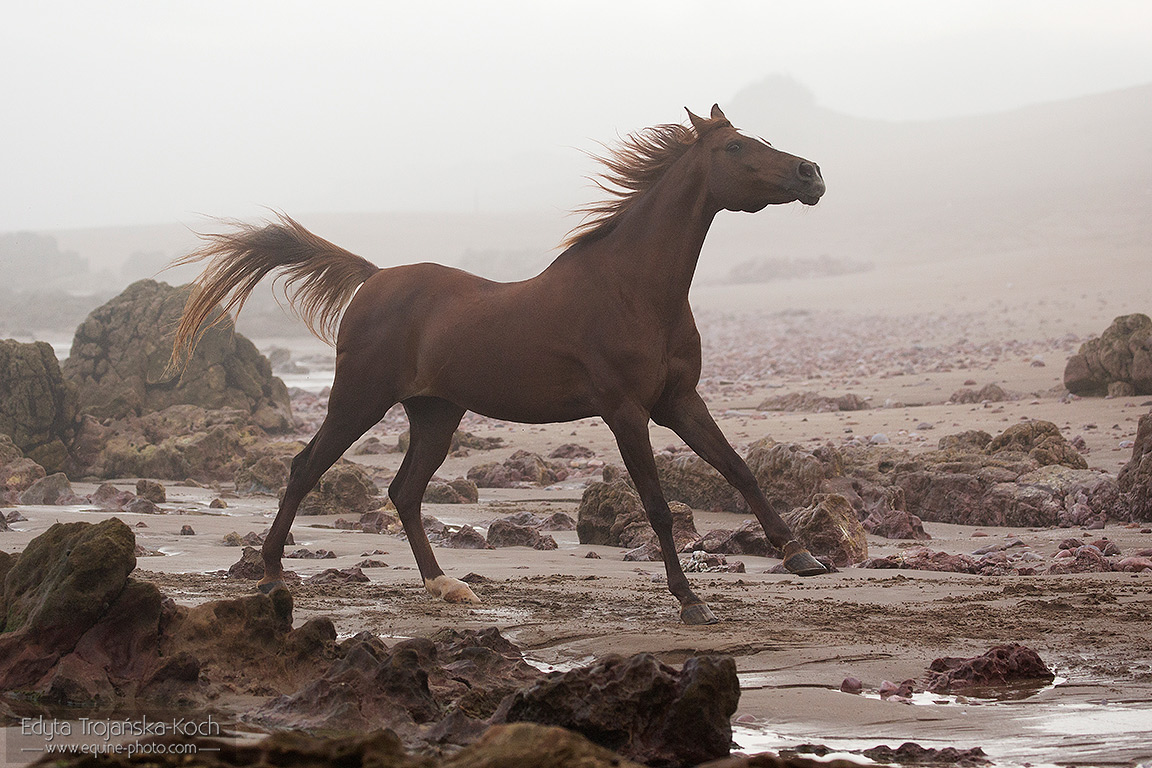 Arabian horse on the beach in Morocco