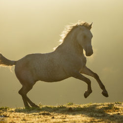 Lipizzaner galloping at sunrise in the mist