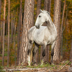 Lipizzaner standing in the forest between the trees