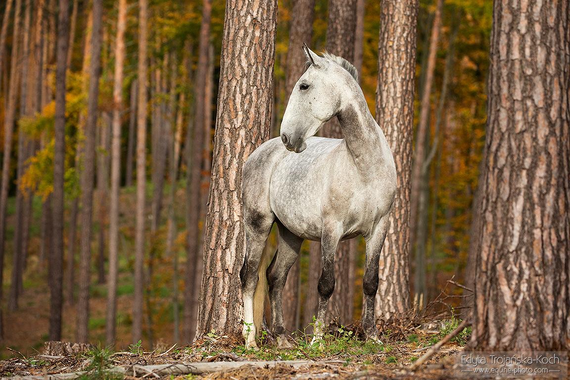 lipican-siwy-jesien-drzewa-pnie-las