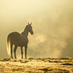 Siwy lipican stojący jesienią we mgle o wschodzie