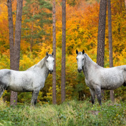 Lipizzaners standing in the forest between the trees