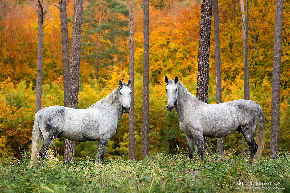 Lipizzaners standing in the fall forest