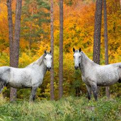 Konie lipicańskie stojące jesienią w kolorowym lesie